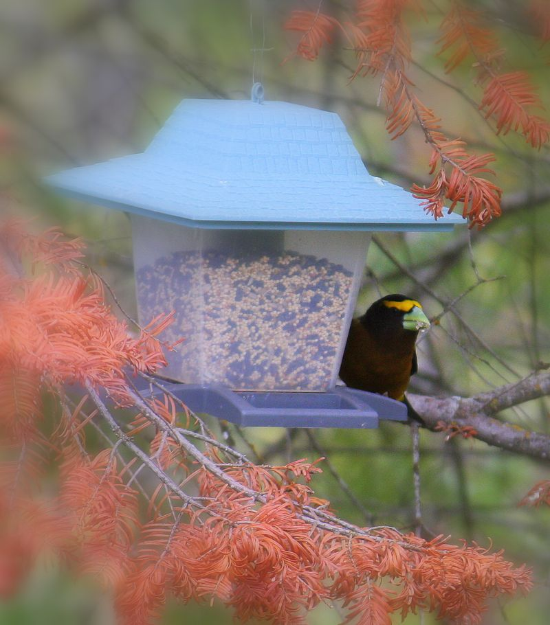 Evening grosbeak2