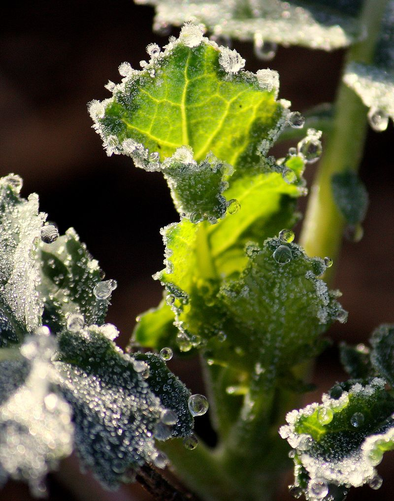 Frosted veggies