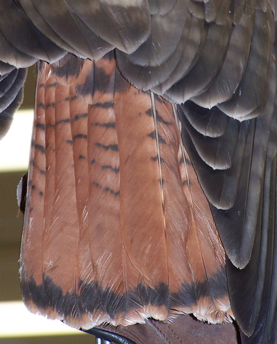 Red_tail_hawks_tail