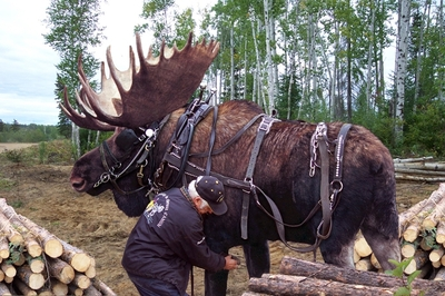 Alaskan_workhorse
