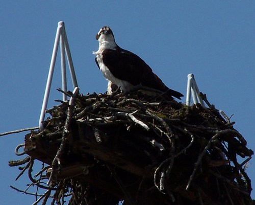 Osprey_on_nest