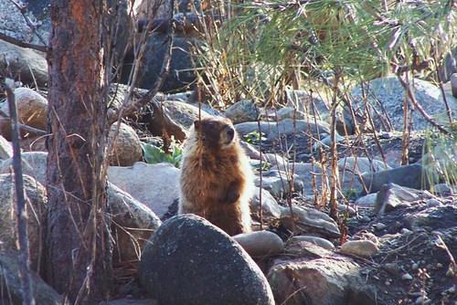 Spring_marmot